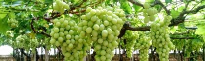 The beginning of the Seedles Grape season